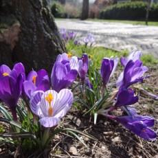 Krokussen komen tot bloei in de wijk