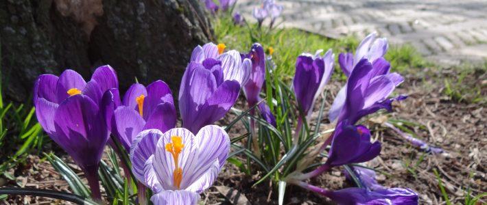 Krokussen fleuren wijk weer op