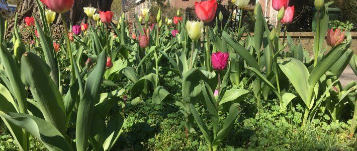Lente 2019: Tulpen komen uit!
