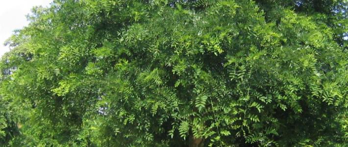 Laanbomen (onderhoud/vervanging)